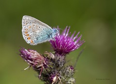 Common blue on thistle (Arran in Focus) Tags: blue nature butterfly scotland flora wildlife thistle arran