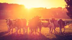 The Magnificent Seven (bobbybee2000) Tags: fujifilmxt1 sunrise sunset sonnenuntergang kühe outdoor light licht schatten sonne cows sunshine farmer nature shades dieglorreichensieben tiere animals niceweather livestock viehzucht natur
