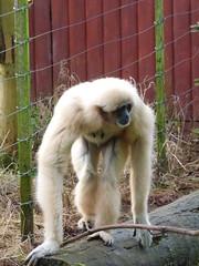 South Lakes Zoo - gibbon (2)