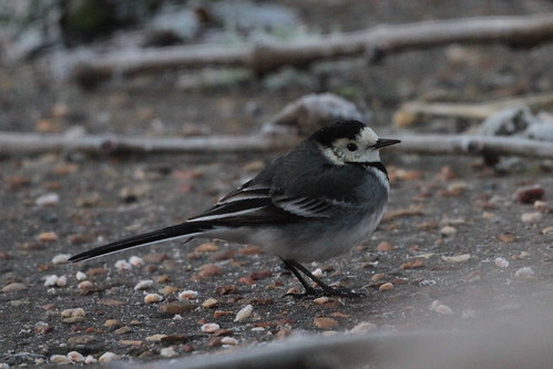 Pied Wagtail, garden record shot.