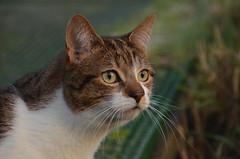 Turbo. (Sam Tait) Tags: cat kitty winter outdoor outside dof short hair white tabby