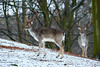 Stag (powerdook) Tags: stag male deer wildlife wild winter snow forest trees park denmark aarhus mammal outside outdoor antlers