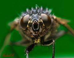 Mosca (richeaandrei) Tags: canon fly 100mm usm macro insect green invertebrete mosca macroelsalvador macroefolie