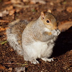 2016_12_0611 (petermit2) Tags: greysquirrel squirrel clumberpark clumber sherwoodforest sherwood nottinghamshire nationaltrust nt