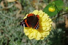 Admiral Dahlien (Aah-Yeah) Tags: admiral red vanessa atalanta schmetterling butterfly tagfalter marquartstein achental chiemgau bayern dahlien georginen