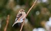 _DSC5390 Chardonneret jaune (Danièle T) Tags: american goldfinch spinus tristis fringillidés chardonneret jaune oiseau cour neige arbre plumes bec extérieur