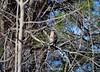 Coopers Hawk_4272 (Porch Dog) Tags: 2016 garywhittington kentucky nikond750 fx nikon200500mm winter january wildlife nature trees avian bird feathers coopershawk