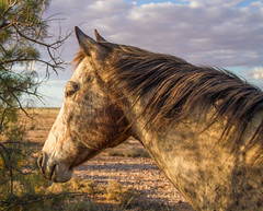 horse (lotsa50) Tags: horse horses equines animals outback sunset