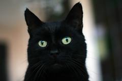 My hero! (katjacarmel) Tags: animals kat gato poes pets black portrait closeup eyes green expression cute