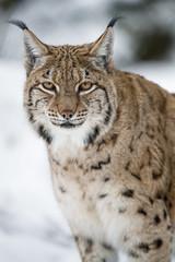 Portrait of an attentive lynx (Tambako the Jaguar) Tags: portrait face calm attentive standing snow winter cold lynx wild cat arth goldau tierpark zoo switzerland nikon d5