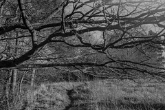Tree at the edge of the wood (Stanley Burn Woods) (Jonathan Carr) Tags: tree abstract abstraction landscape rural northeast field path black white bw 6x9 toyo45a monochrome