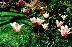 Blushing Lady tulips; Velvia 100 (Xenograft) Tags: blushing lady tulips fujichrome nikon color slide film velvia n90s garden