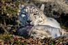 Zoo-Salzburg (mono-foto) Tags: zoosalzburg raubkatzen raubtiere schneeleopard