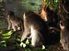 Singes captivés (Pimenthe) Tags: ape monkey apes monkeys cute animal animals photography wild wildlife asia asian rainforest forest nature natural travel