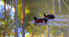 There's LIGHT at the end of the POND....... (Lani Elliott) Tags: bird birds duck ducks chestnut chestnutteals teals pond duckpond water ripples reflection reflections anascastanea nature naturephotography waterbirds australia tasmania light bright