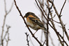 Bramling (James Oliver Lewis) Tags: bird nature venuspool shropshire bramling
