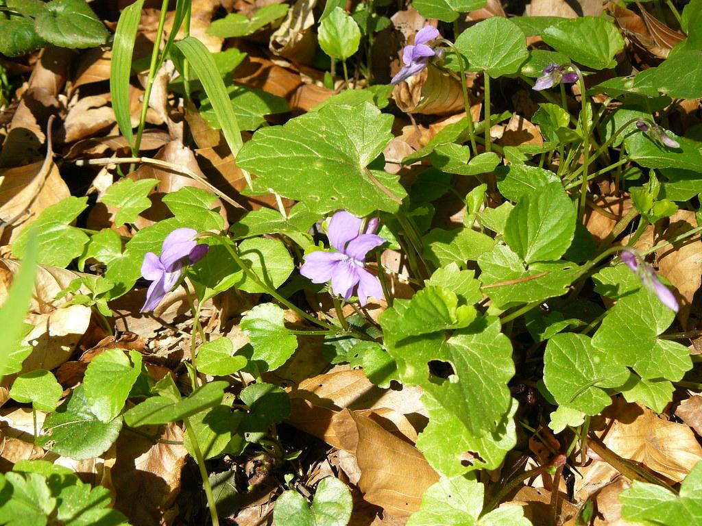 Viola reichenbachiana3