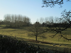 Beautiful winter afternoon near Boughton, Northamptonshire. (josettemallon) Tags: trees sheep countryscene fields northamptonshire winterlandscape tree
