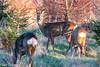 Roe deer 3 (Ian R T) Tags: roedeer deer aberdeen scotland urbandeer