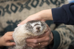Colorado State University (ColoradoStateUniversity) Tags: outreach poudreschooldistrict csufrequentsearchterms animals marmots psd groundhogday triumfo