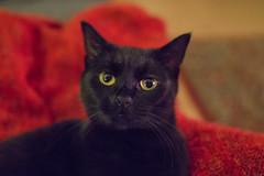 IMG_7657 (BalthasarLeopold) Tags: animal animals blackcat blackcats cat cateyes cats closeup dephtoffield dof feline felines indoorcat kitten kittens leopold mammal pet pets