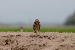 Burrowing owl (canuck4everr) Tags: burrowing owl burrowingowl athenecunicularia
