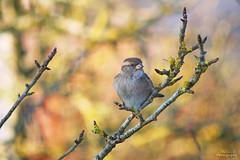 Moineau domestique (Mariie76) Tags: animaux oiseaux passereaux moineau domestique femelle passer domesticus couleurs chaudes hiver arbre branches