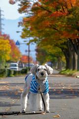 散歩道 (photojiro) Tags: xf50140mmf28rlmoiswr fujifilmxt2 fujifilm fujinon テオ 撮って出し 晴れ 秋 縦 長野運動公園 10月