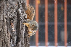 Squirrels in Snowy Ann Arbor at the University of Michigan (January 31, 2017) (cseeman) Tags: gobluesquirrels squirrels annarbor michigan animal campus universityofmichigan umsquirrels01302017 winter eating peanut januaryumsquirrel snow cavitynest nest tree umsquirrel01312017 umsquirrel foxsquirrels easternfoxsquirrels michiganfoxsquirrels universityofmichiganfoxsquirrels