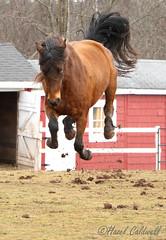 Aquilla (hazelcaldwell) Tags: horse naughty bucking action aquilla