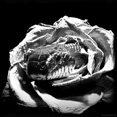 Hi There (rsmithing) Tags: blackandwhite blancoynegro monochrome rose blackbackground mono snake there hi serpent temptation edit iphone hithere flowersseries hitamputih pretoybranco
