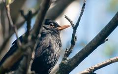 Blackbird (axelkr) Tags: wallpaper birds background widescreen 1920x1200 1610 1440x900 1680x1050 1024x640 1280x800 2560x1600 3200x2000 2048x1280