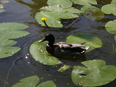 Duck in the water lilies