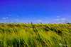 Feld im Wind
