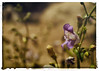 You Don't Bring Me Flowers Anymore (hbmike2000) Tags: flower nature field nikon warm bokeh salvia bud d200 wildflower weeklytheme theflickrlounge hbmike2000