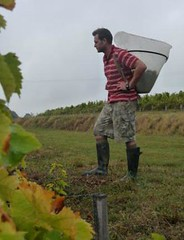 "Levin Wines Hand Picking at Clos Rosarie • <a style=""font-size:0.8em;"" href=""http://www.flickr.com/photos/133405556@N08/19458001603/"" target=""_blank"">View on Flickr</a>"
