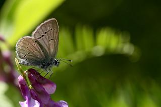 Le papillon de Castellane [Explore]