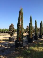 100g Italian Cypress 8/7/15