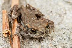 Little Toad (GDShot) Tags: macro nature animals natura toad animali baggio altro attrezzatura rospo efs60mmusm obiettivi stilisoggetti manfrotto7321yb