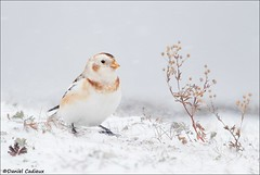 Snow Bunting Winter Meal (Daniel Cadieux) Tags: bunting snowbunting forage foraging twig dryvegetation winter snow blizzard cold field weed weeds ottawa petrieisland