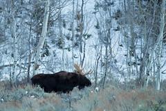 Solitary Moose (jpeder55) Tags: jackson xt2 cold fujifilm grandtetonnationalpark jpedersenphotography landscape nature winter wyoming moose