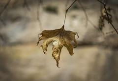 The Leaf (panos_adgr) Tags: leaf depthoffield brown kalavryta helios 81n greece color megaspylaion sovietlens wideaperture nikon d7200 bokeh