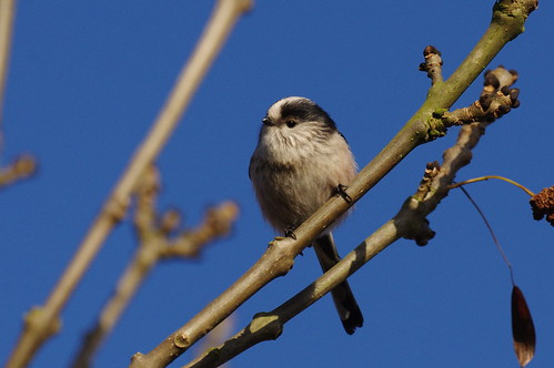 IMGP2417 Long-tailed Tit, Fen Drayton Lakes, December 2016