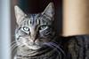 Harry (No_Water) Tags: ebersbachanderfils badenwürttemberg deutschland harry cat tiger