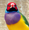 Gouldian Finch - mature male (Mary Faith.) Tags: bird male colourful portrait gouldian finch fly
