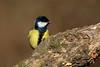 _F0A8321.jpg (Kico Lopez) Tags: carbonerocomún galicia lugo miño parusmajor spain aves birds rio