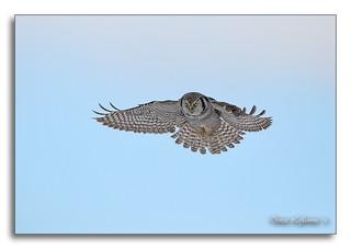 1E1A6629-DL   -   Chouette épervière / Northern Hawk Owl.