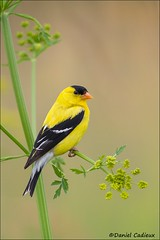 American Goldfinch on Wild Parsnip (Daniel Cadieux) Tags: goldfich americangoldfinch breedingplumage make parsnip wildparsnip ottawa