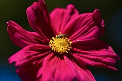 Match made in Heaven! (ineedathis,The older I get the more fun I have....) Tags: sweatbee agapostemonsplendens metallicgreenbee insect cosmos magenta yellow macro summer garden nature flower nikond750 polen