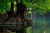 MATIN. (NIKONIANO) Tags: verde green tranquilidad lago árbol sabino michoacán méxico árboles surreal michoacano ramas lossabinos encamécuaro d500